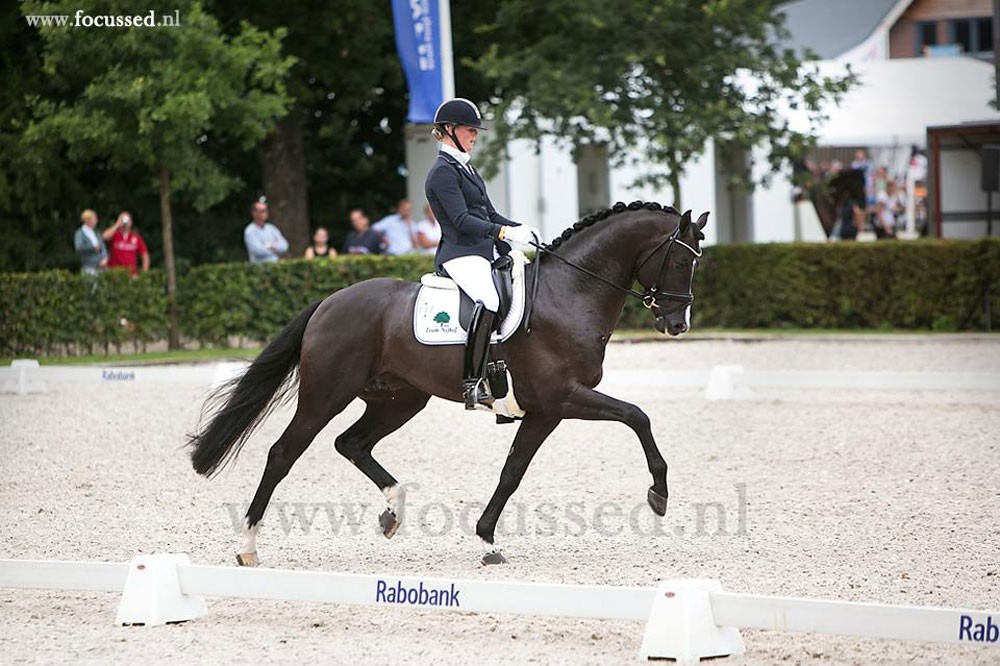 firestone, dressage, stallion, hengst, team bijhof