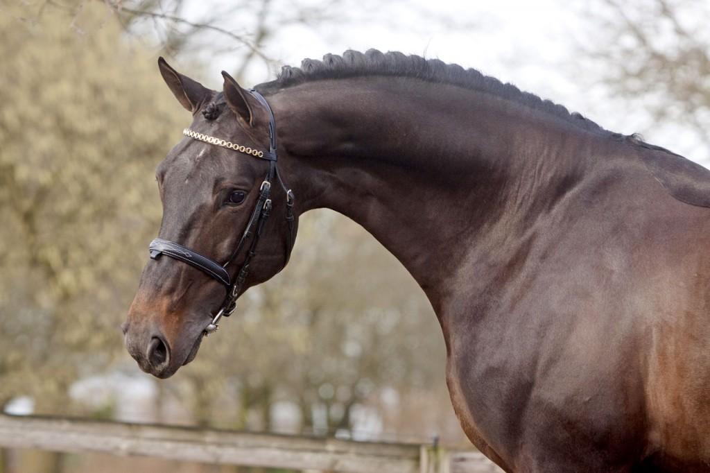 starpower, hengst, stallion, hengstenhouderij, fokkerij, team nijhof