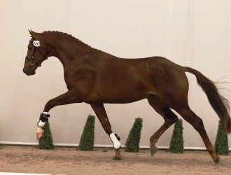 indian summer, team nijhof, hengst, stallion, dressage