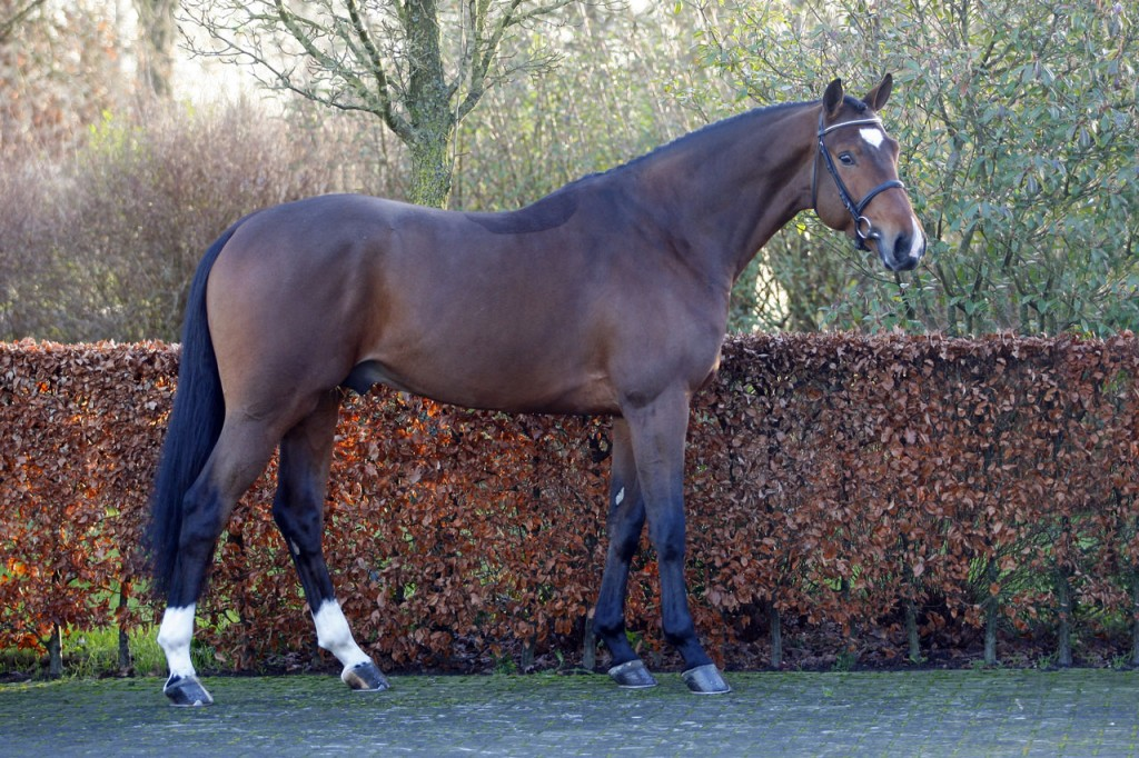 dekhengst, stallion, team nijhof, hengstenhouder, malibu