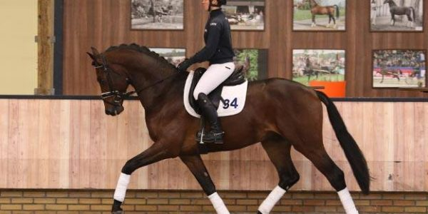 Dressage stallion Incogito (v. Davino x Vivaldi) approved for KWPN