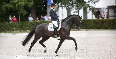 firestone, dressage, stallion, hengst, team bijhof