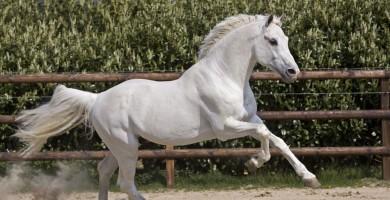 clinton, team nijhof, hengsten, stallions