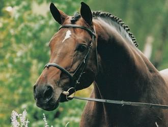 burggraaf, hengst, stallion, hengstenhouderij, team nijhof
