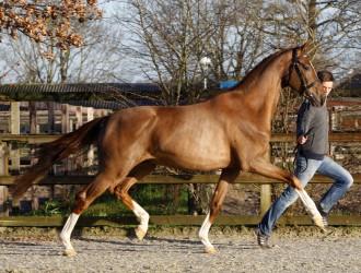 impact, dressuur, hengst, stallion, team nijhof, hengstenhouderij