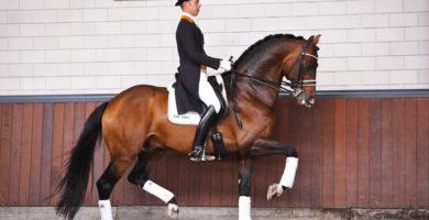 dressuur, team nijhof, hengst, stallion